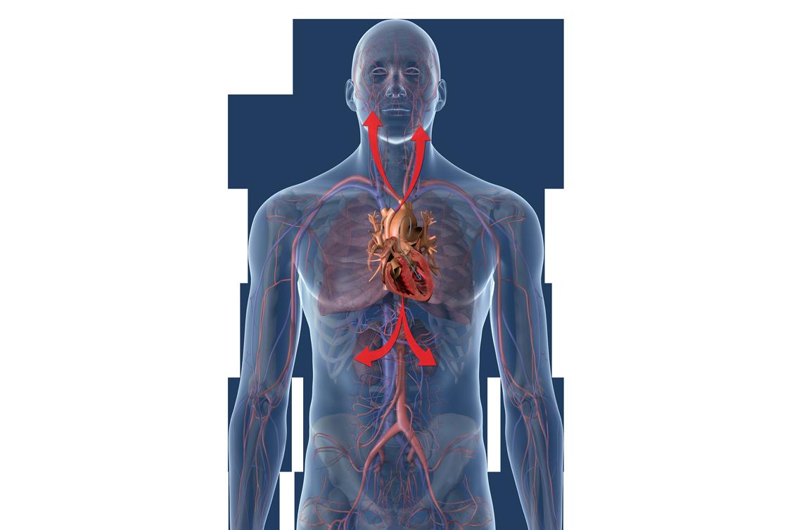 Menschliches Gefäßsystem mit Fokus auf das Herz