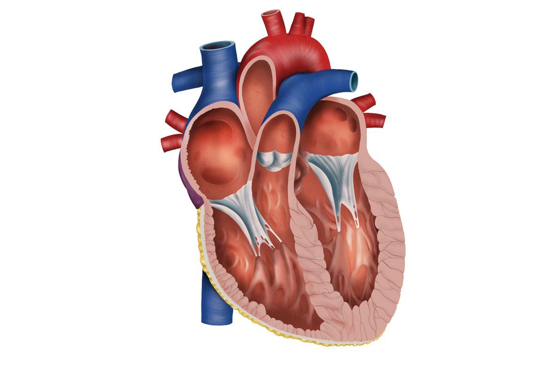 Querschnitt eines Herzens